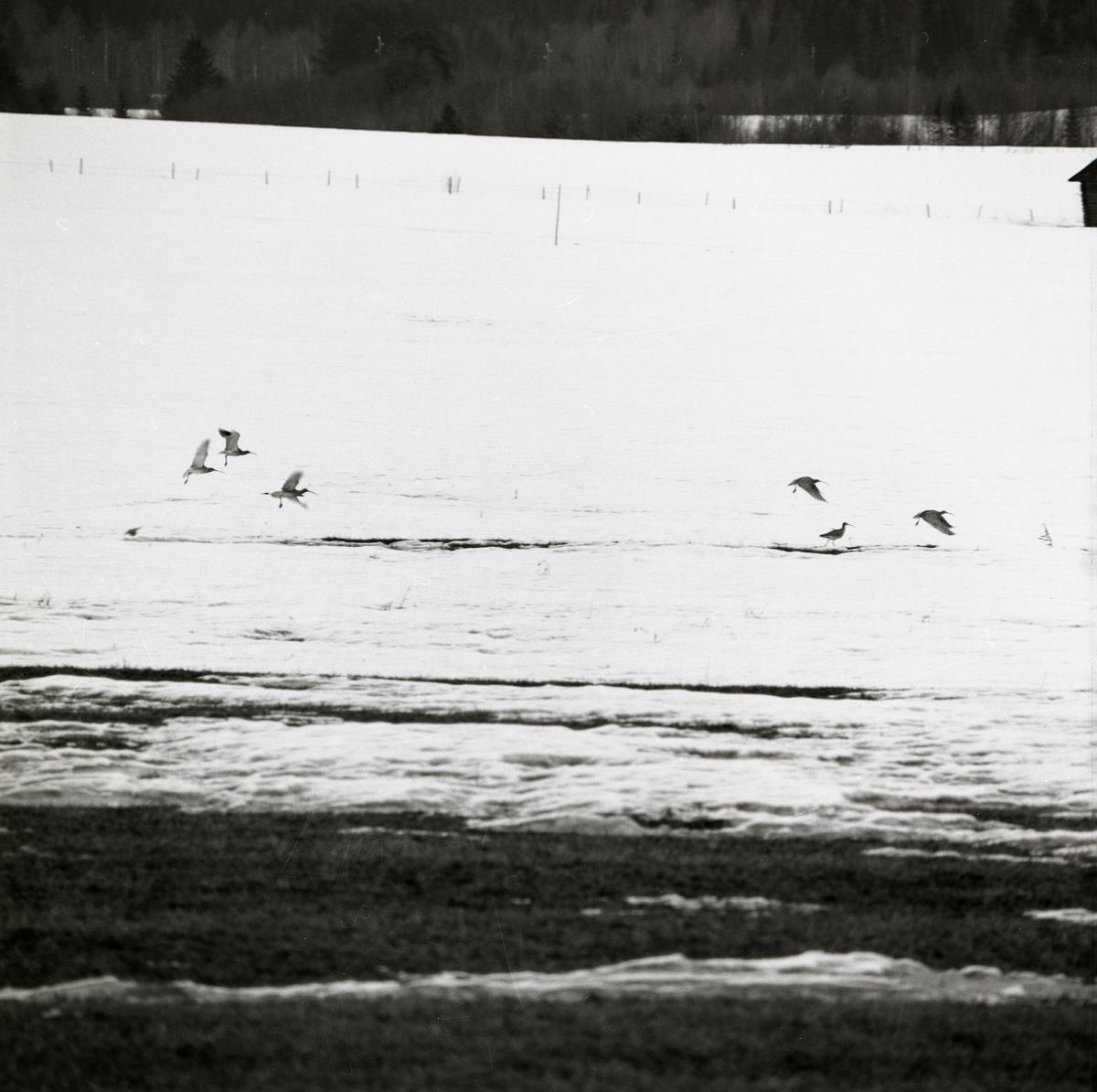 Några fåglar flyger över snötäckt mark.