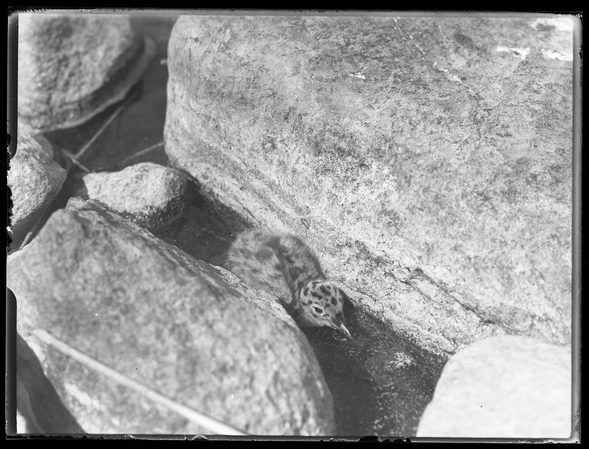 En måsunge ligger mellan två stenar.