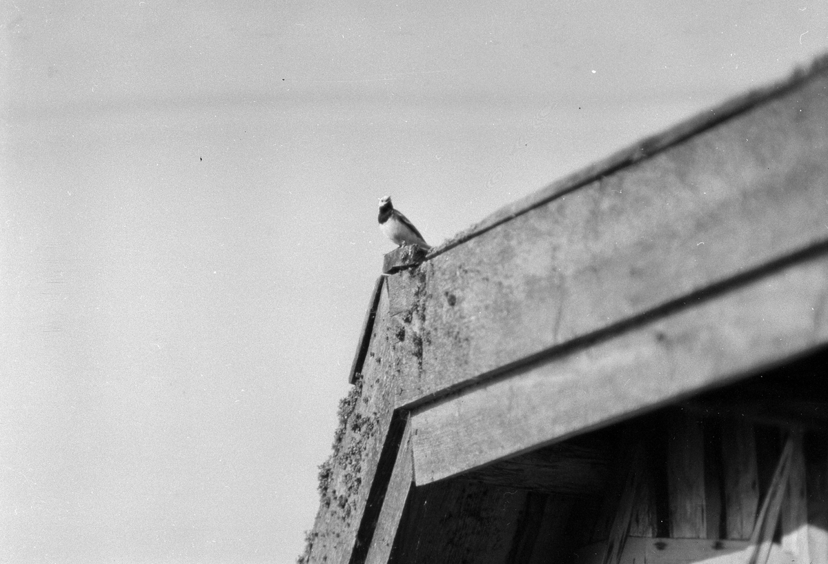 """En fågel sitter på en taknock. I fotografens anteckningar står det """"35 films fr. semester på Halö""""."""