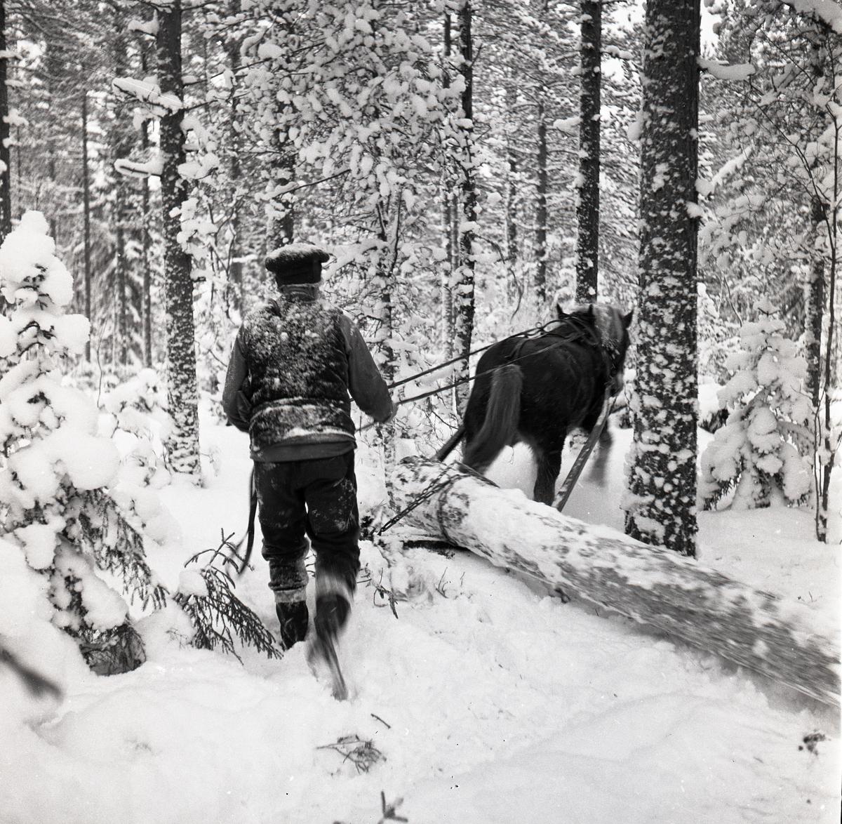En man kör en förspänd häst genom ett snöigt skogslandskap. Hästen drar en timmerstock på en släde, 1960.