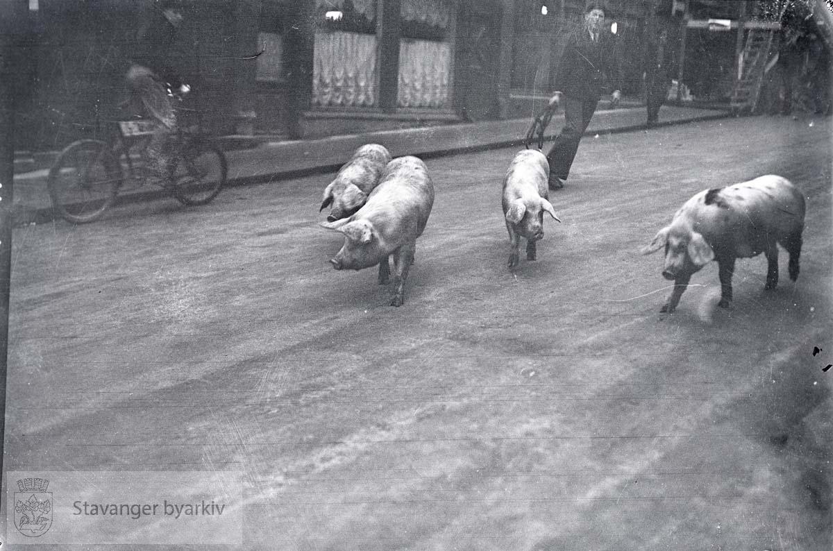 Løse griser i gaten