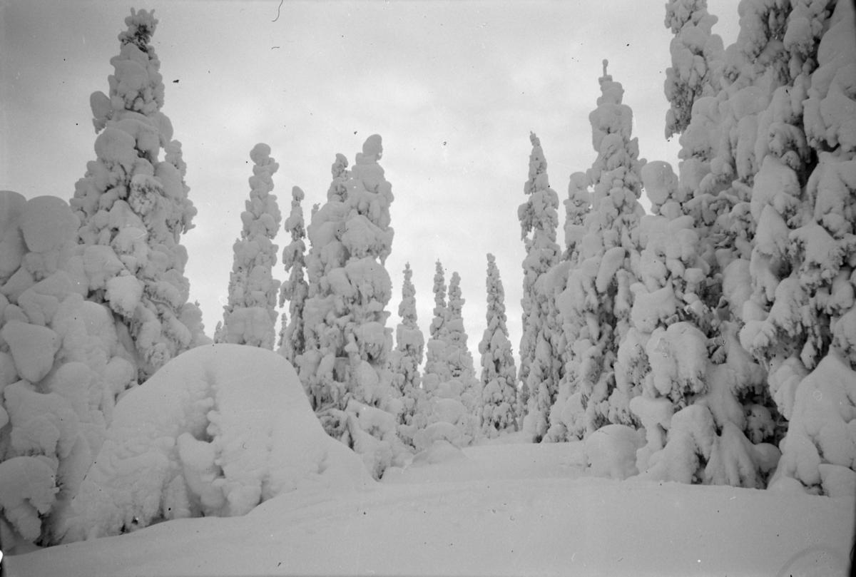Snødekte grantrær