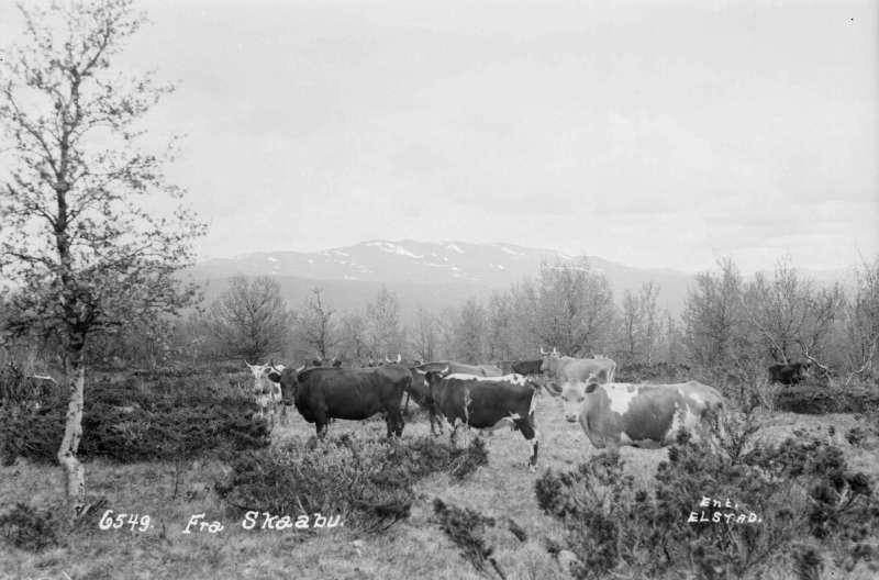 Nord-Fron. Kyr på fjellbeite i Skåbu.