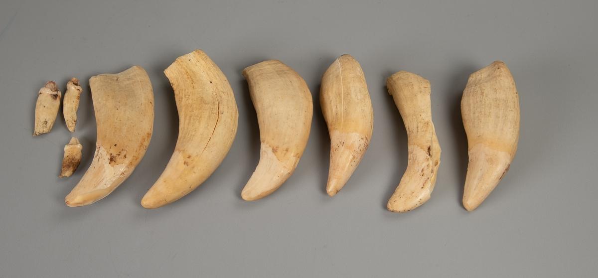 Dyrekjeve  med en stor og en liten tann,  dessuten 7 store og 3 små løse tenner.