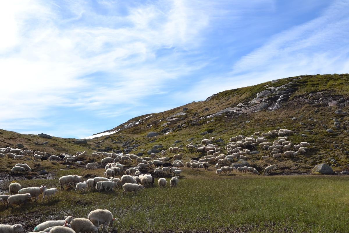 Bilder frå driving av sau frå Sandvigvatnet ved Suleskarvegen til Fjesjevassteane i Langvassheii. Det er rundt 850 sauer i flokken. Dei startar i avslessingsgarden og går langs Rågeloni og over brua som Jæren Smalalag har lagd over Sandvassåna.