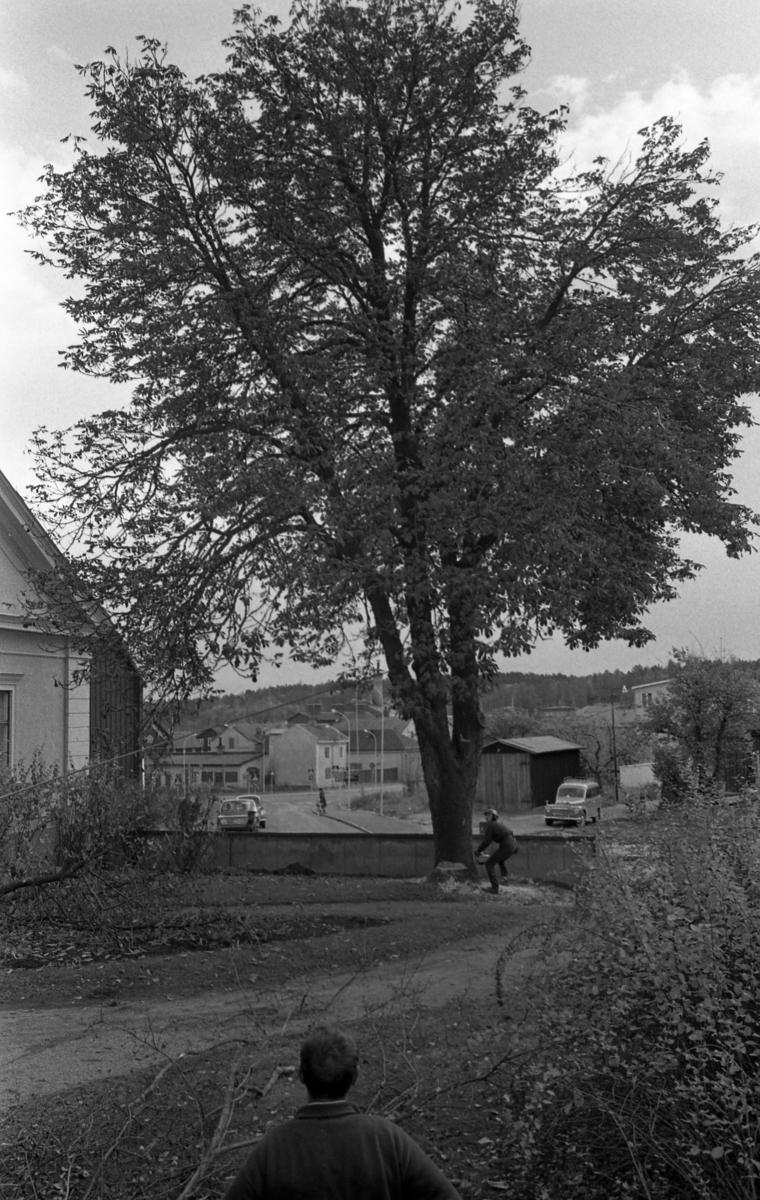 Trädfällning vid prostgården, intill Sankt Nikolai kyrka. En man med hjälm och motorsåg fäller ett stort träd. Byggnader på Herrgårdsvägen samt skorstenen till Arboga Kvarn och Maltfabrik ses i bakgrunden.