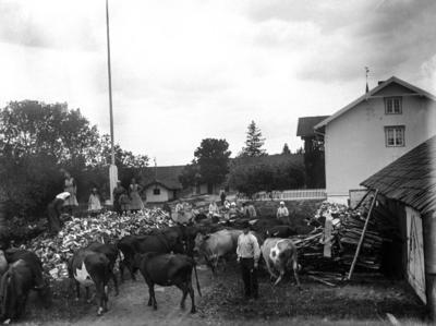 Svart-hvitt fotografi av et gårdstun med masse kuer på, i tillegg til en stor haug med ved som er delt og kløyvd. Mennesker både på vedhaugen og ved gårdshusene som synes til høyre i bildet.. Foto/Photo