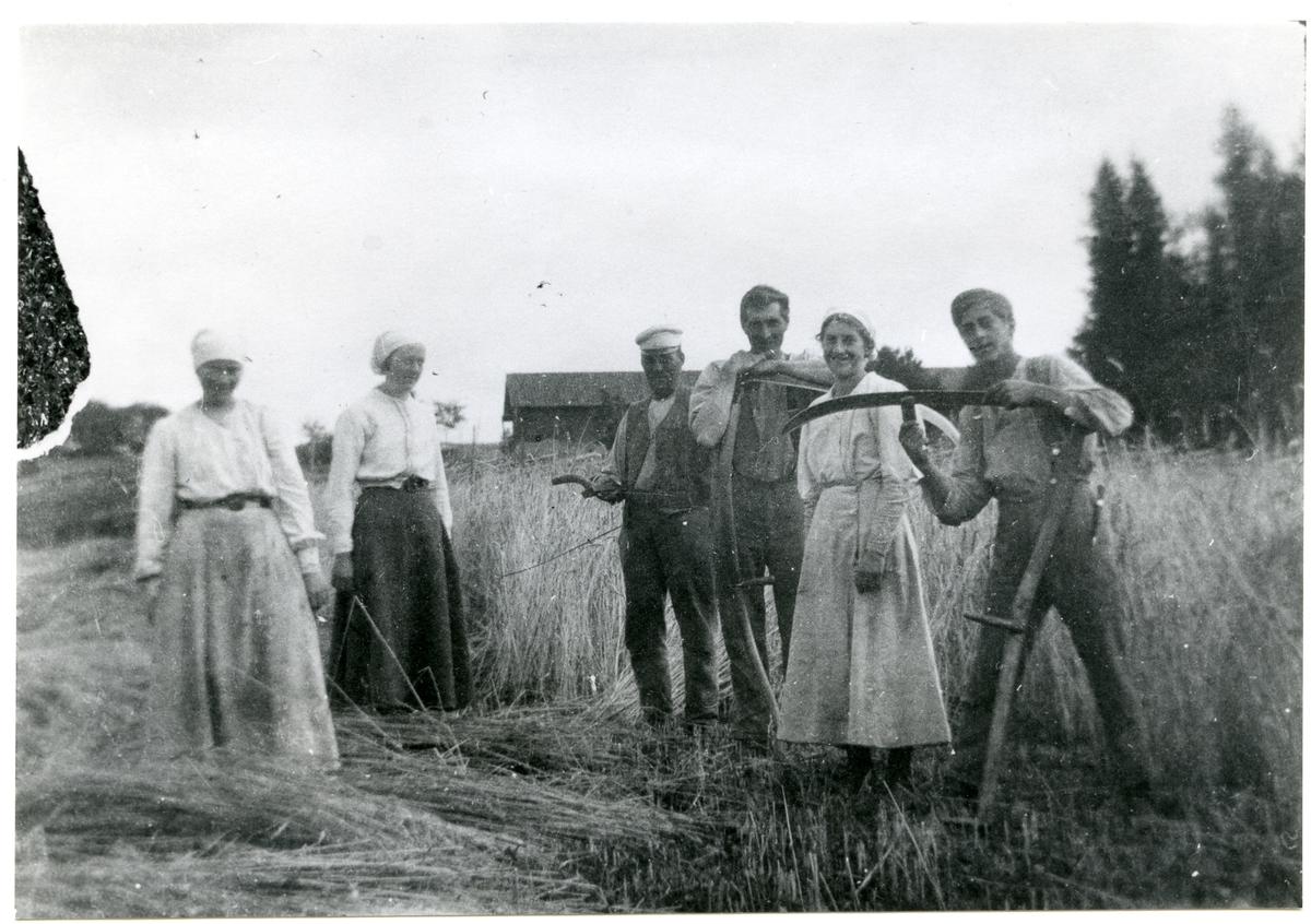 Ramnäs sn, Surahammar. Seglingsberg. Skördearbete, 1917.