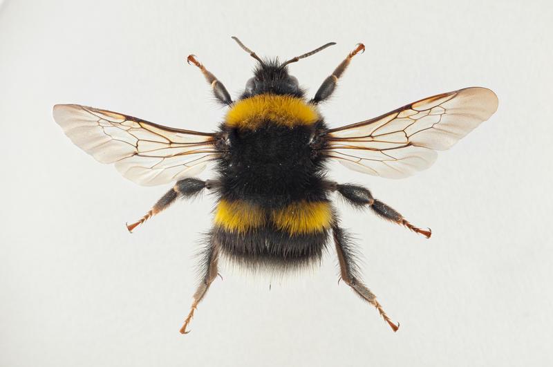 Lundhumle Bombus soroeensis (Foto/Photo)
