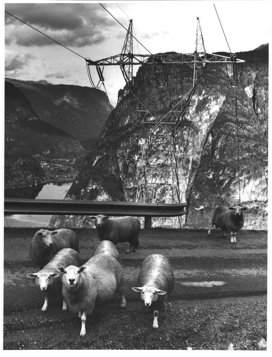 Aurlandskraft og sau v. Vassbygdvatnet