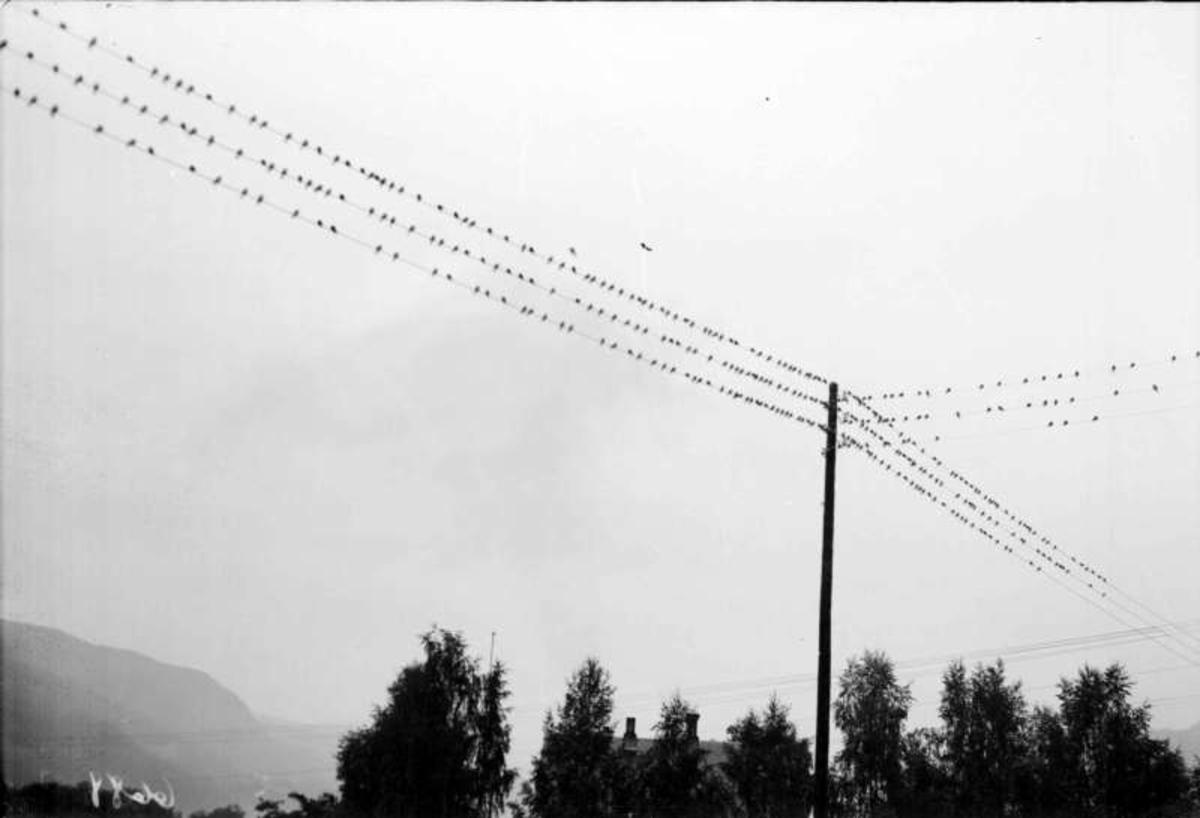 Fugl i mengder på lysledninger.
