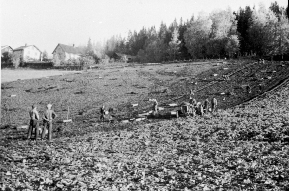 Potetonn på Hauger gård, Brøttum, Ringsaker. Traktor med potetopptager. Potetplukkere.