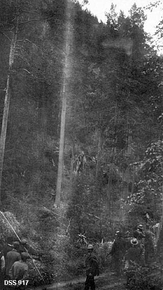Skogbefaring ved Storjord i Saltdal statsskoger.  I forgrunnen en del herrer på en skogsveg, de fleste av dem med blikket vendt mot ei bratt li med rett, fin furuskog.