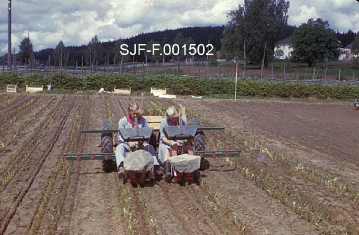 """Utplantingsmaskin - Holland Transplanter - i bruk på Sønsterud planteskole i Åsnes, Hedmark.  Fotografiet er tatt bakfra.  Maskinen trekkes av en bredsporet Ferguson """"Gråtass"""".  To kvinner sitter bakovervendt på maskinen, der de plukker prikleplanter fra plantekasser på et stativ og plasserer dem bak klaffer på ei roterende skive som fører dem ned i plantefura.  Der presses de på plass av skråstilte hjul med brede felger på hver side av planteskivene.   Prikling var lenge manuelt arbeid, fra tidlig på 1900-tallet utført med spade, priklebrett og rive som hjelpemidler.  Da dette arbeidet skulle mekaniseres ble løsningen ofte å plassere plantørene på en innretning bak traktorens hydraulikk.  Her satt de og plasserte prikleplanter på ei langsomtroterende skive.  Skiva førte plantene ned i jorda like bak et fureskjær.  Idet plantene ble sluppet fra festet på den roterende skiva ble plantefura klemt sammen av skråttstilte sidehjul.   Fotografiet er fra en lysbildeserien """"Mekanisert planteskoledrift"""", som ble produsert av Landbrukets film- og billedkontor, antakelig med tanke på undervisningsbruk.  Dette er serie nummer 45 i produksjonsselskapets rekke av slike opplegg.  Tekstheftet som til serien har følgende kommentar til dette fotografiet:  """"Holland Transplanter i arbeid.  Her kjører en plantemaskin for annen gang over en såseng. """""""