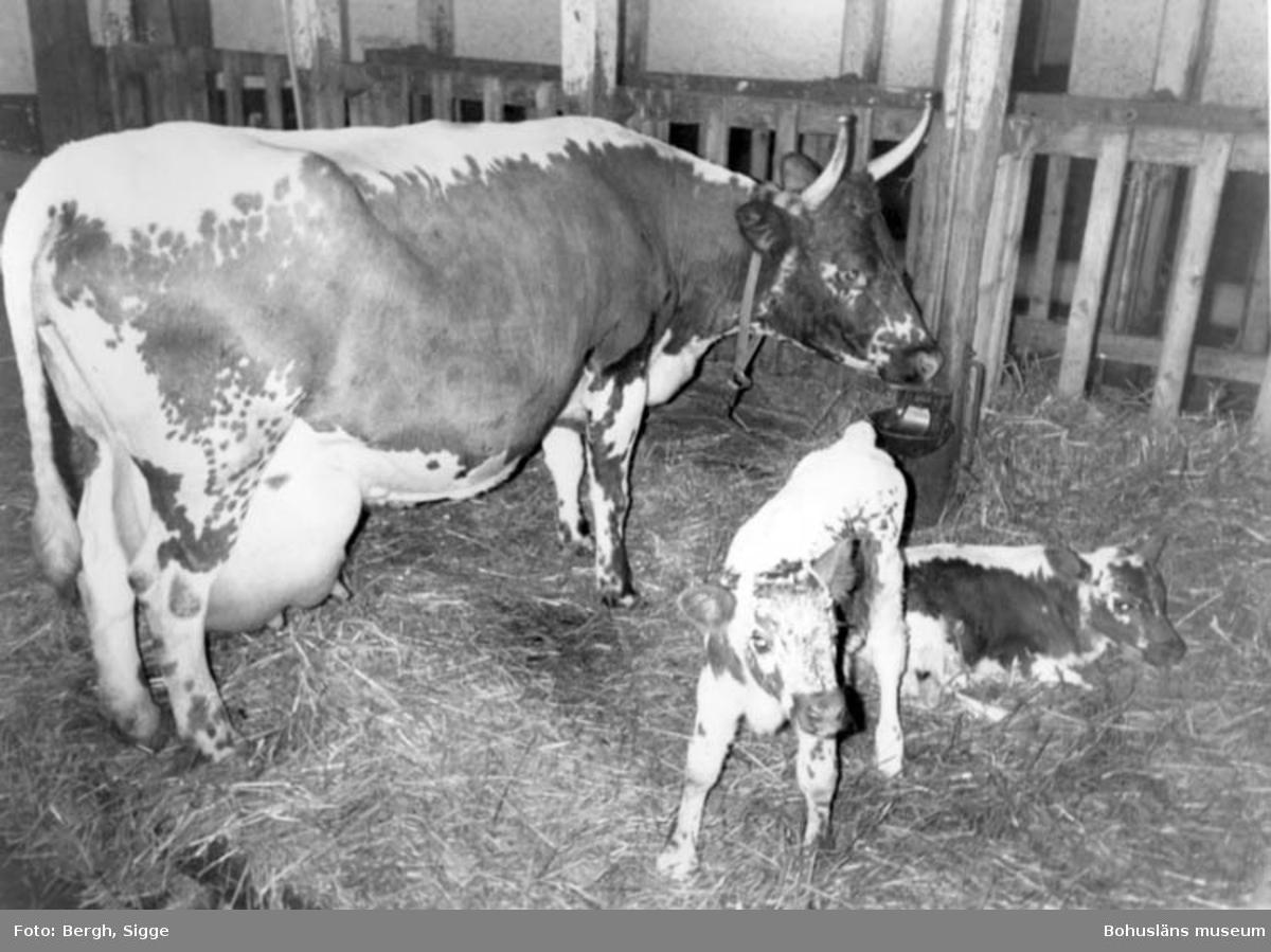 Ko med tvillingkalvar i en lagård.