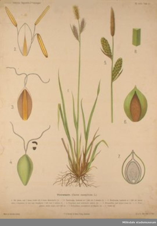Biologi.J. Eriksson. Botaniska väggtavlor 2:a upplagan.Tuvstarr.Målat av Henriette Sjöberg.Lit.o.tr. i Gen. stab. lit. anst.