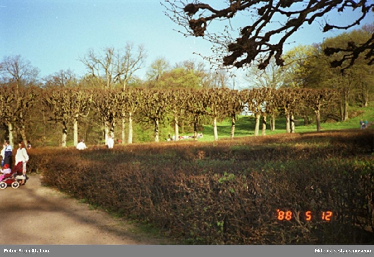 En häck i Gunnebo slottspark. Några människor står längre fram utmed häcken. I bakgrunden ser man en allé med välklippta träd och gräsmattor.