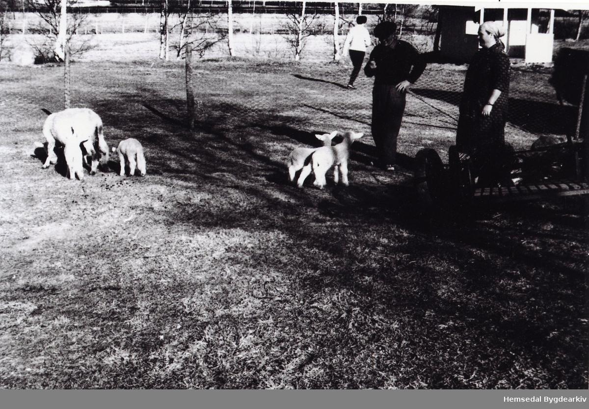 Lilly Helgesen og Erik Helgesen studerer smålamma, ca. 1959 på Embre.