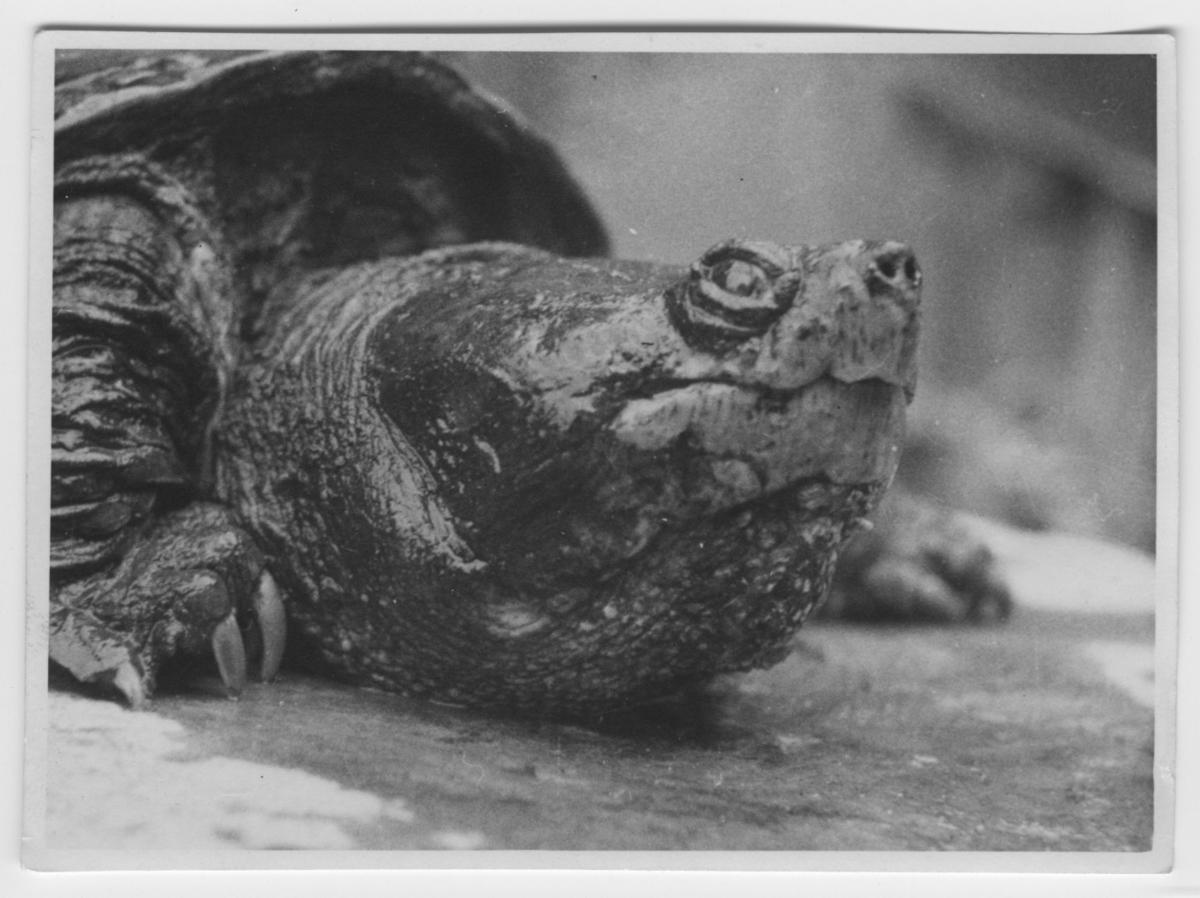 'Flodsköldpadda, närbild på huvudet. ::  :: Se serie med fotonr. 3779-3822.'