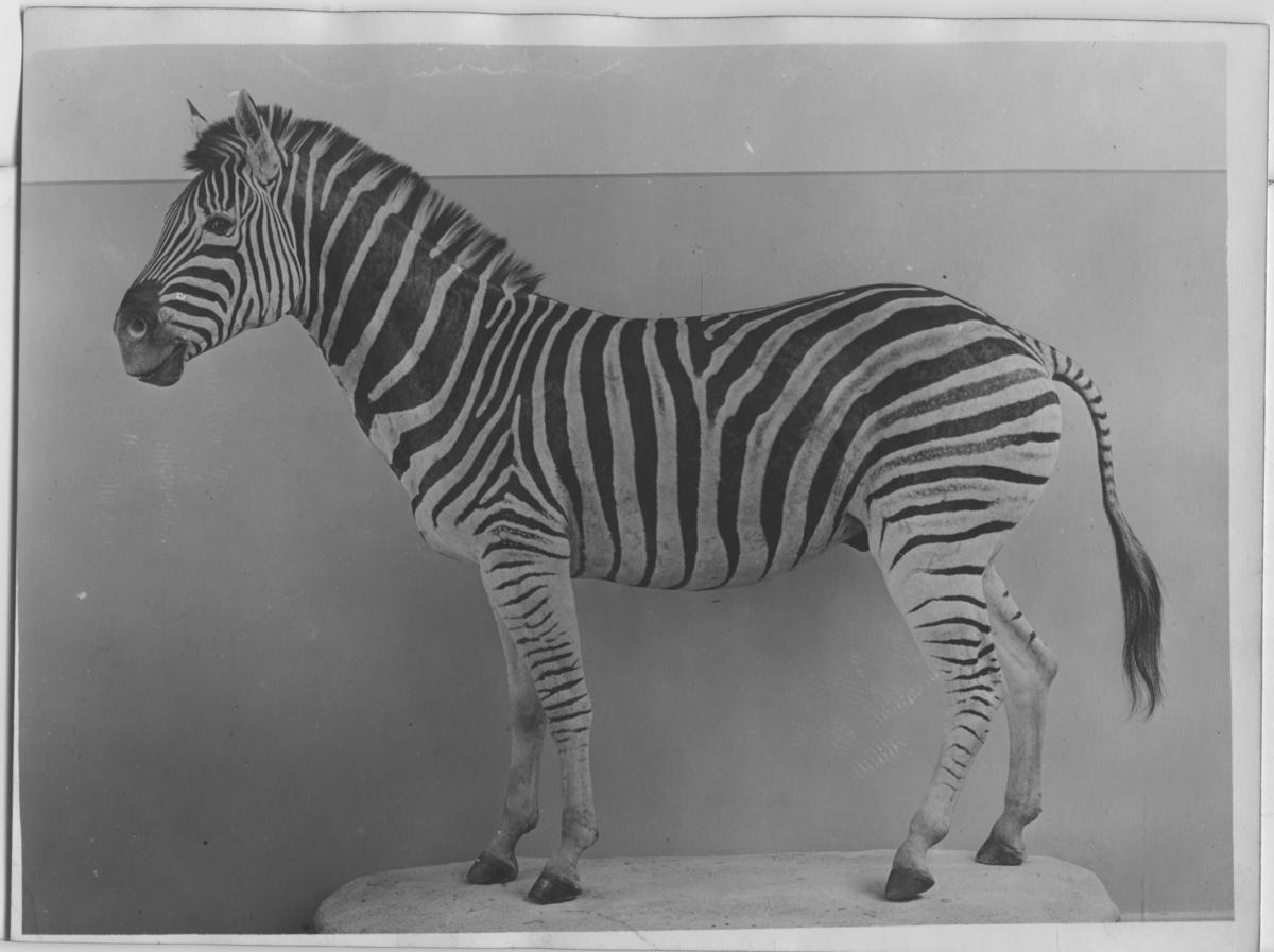 'Chapmanzebra, monterad, sedd från sidan. Monterad av David Sjölander. ::  :: (Chapman)zebra. Ma.ex. 699. Coll.an. 4614. Fynddatum: 1905-08-19. Fyndplats: Sydafrika, Natal, Umfolosifloden. Monterad av David Sjölander. ::  :: Zebran finns utställd i däggdjurssalen i monterskåp nr 31 på Göteborgs Naturhistoriska Museum (2007-10-31). ::  :: Ingår i serie med fotonr. 4450-4452.'