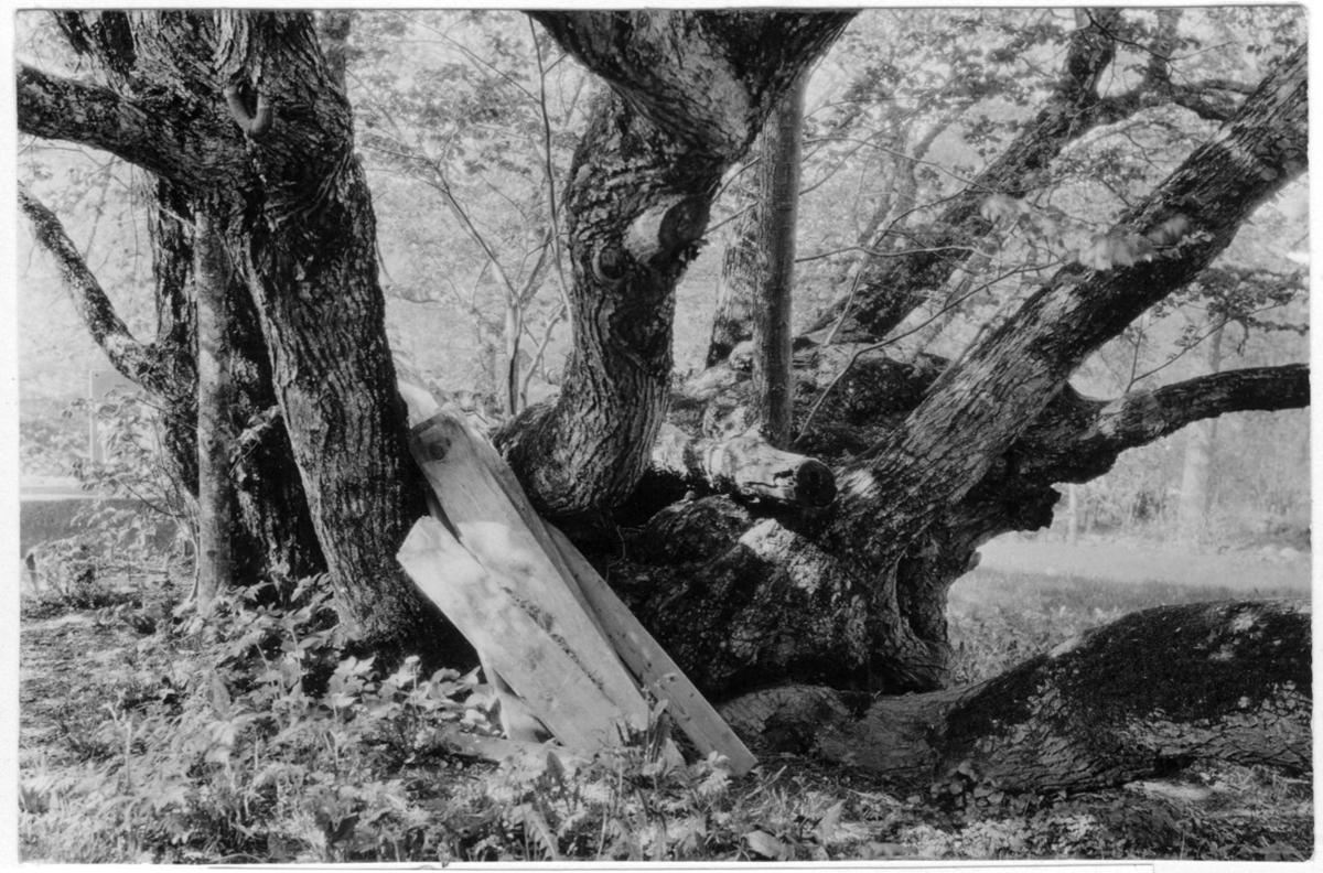 'Bildtext: ''Lind (Tilia cordata).'' Närbild på mångstammig lind, öppen mark. ::  :: Fotonr. 7046:119-185 indelade som ''Märkvärdiga träd  i Göteborgs län och Bohus län''. Ingår i serie med fotonr. 7046:1-383, 7047:1-33 och 7048:1-67 med bilder från  Länsjägmästare John Lindners bildarkiv.'