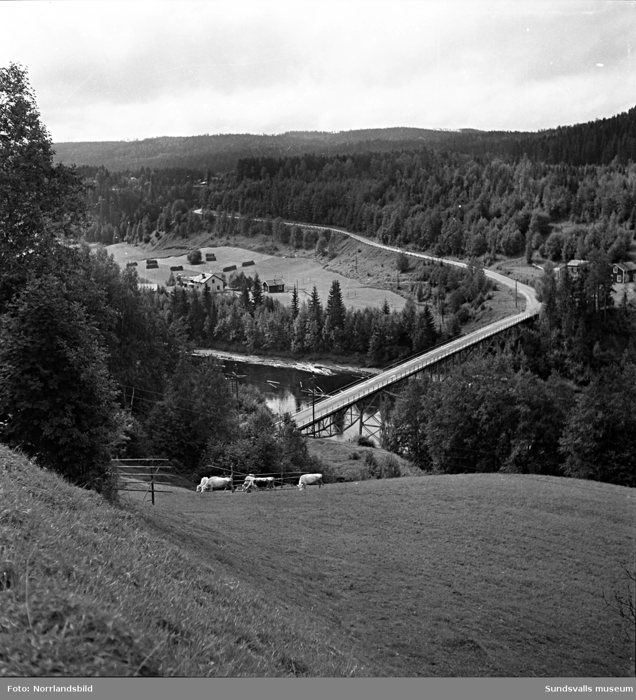 Sommarbilder från landsbygden, betande kor, häst med hölass och diverse odlingar.