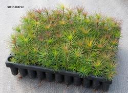Pottebrett med furuplanter, fotografert ved Telemark plantes