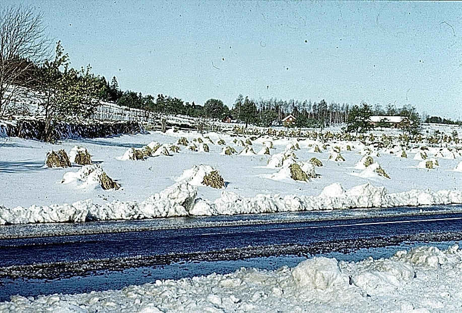 Bortglömd skörd 1956.