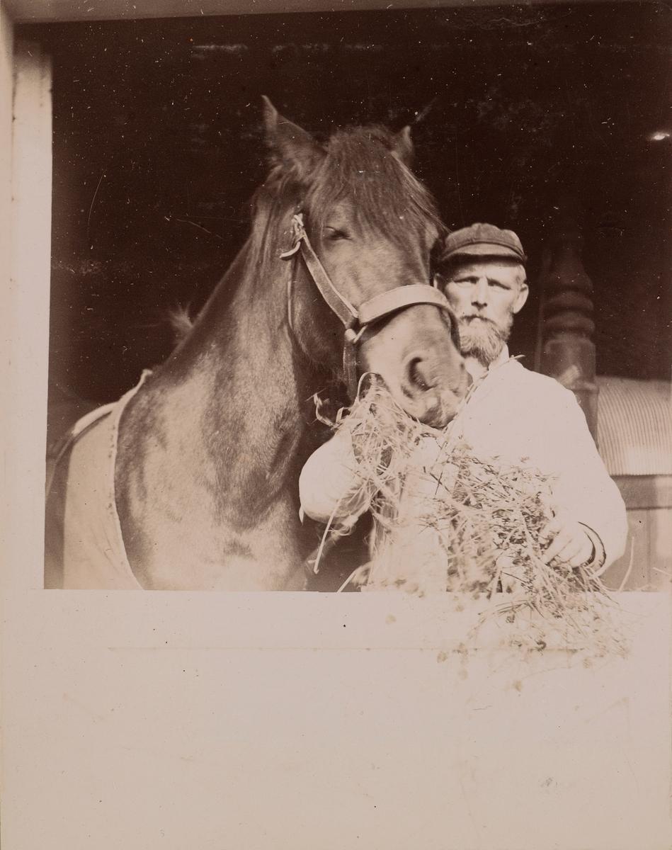 Olaves holder en hest og gir den høy.