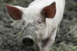 Close up of pig