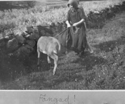 Kalv på grönbete vid Both på Lyrön