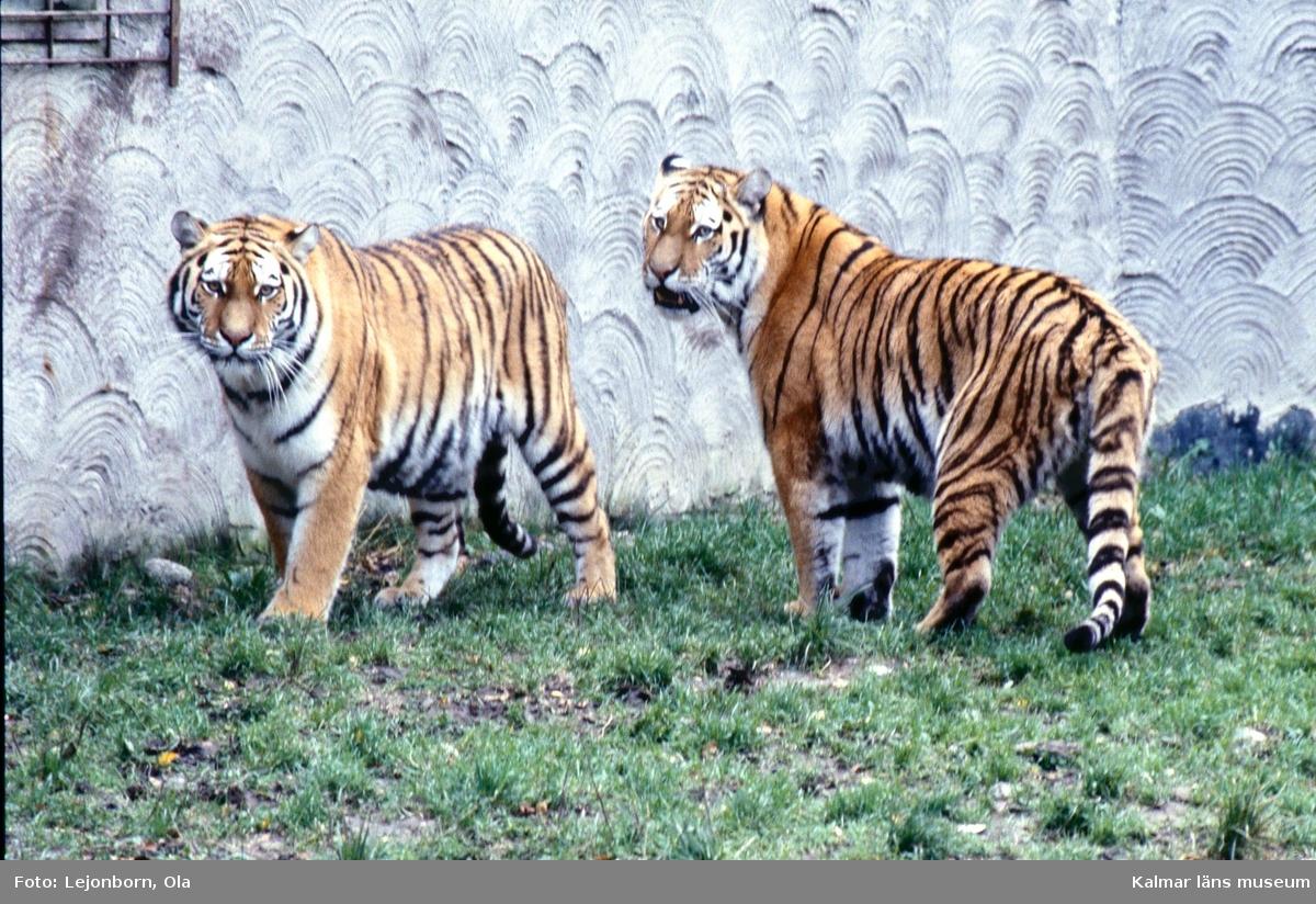 Tigrar på Ölands djurpark.