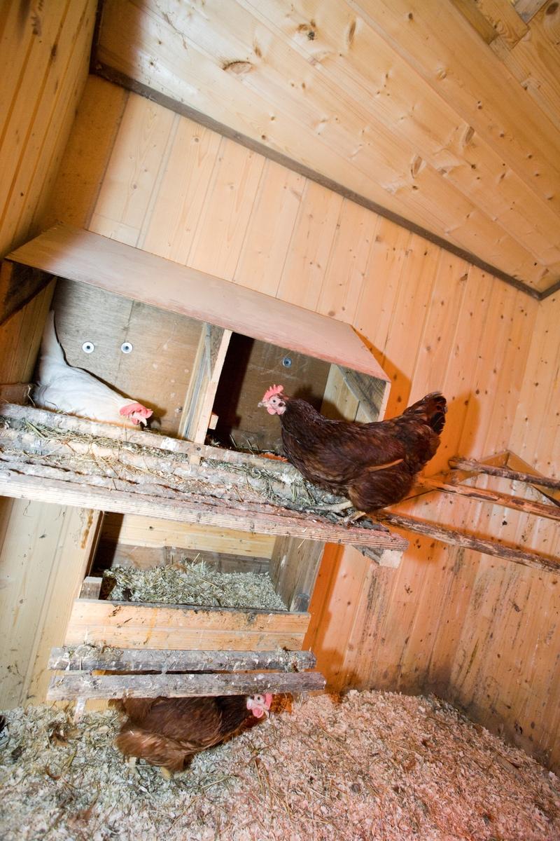 Høner i hønsehus