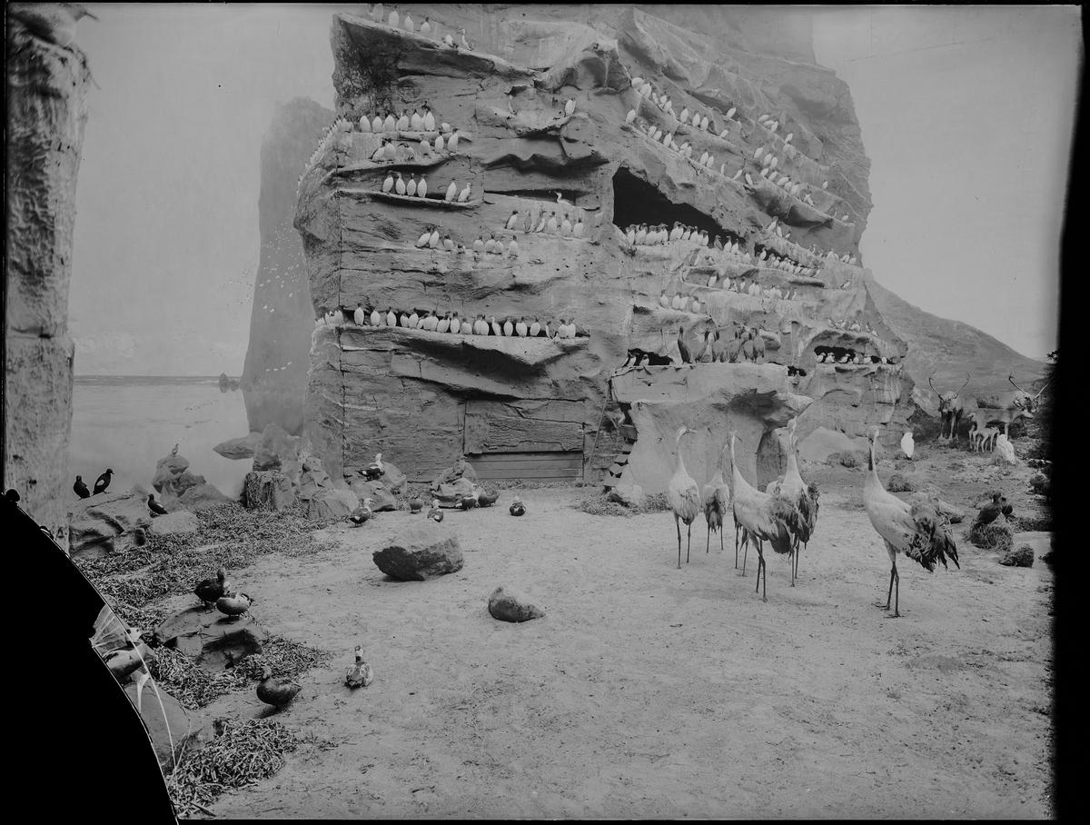 Diorama från Biologiska museets utställning om nordiskt djurliv i havs-, bergs- och skogsmiljö. Fotografi från omkring år 1900. Biologiska museets utställning Sillgrissla Uria Aalge (Pontoppidan) Trana Grus Grus (Linnaeus)