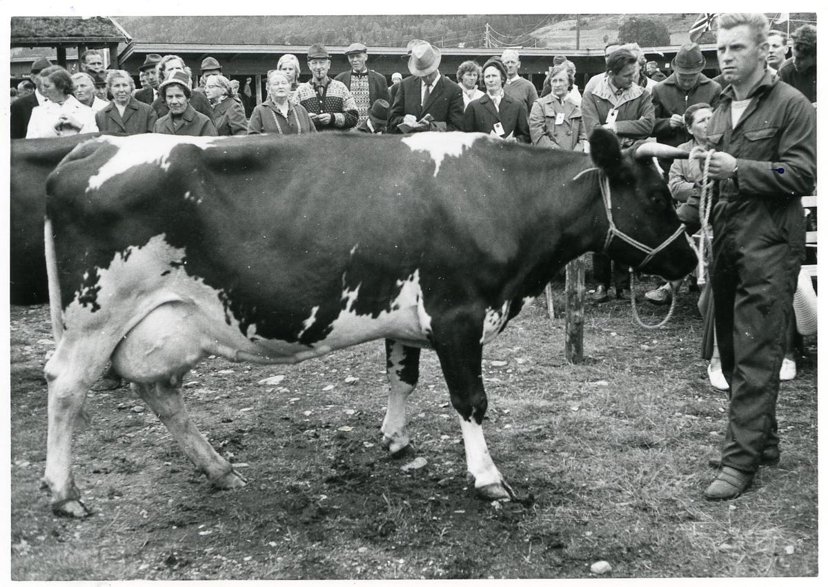 Alf H. Vibeto frå Ulefoss mønstrar 44 Malla.