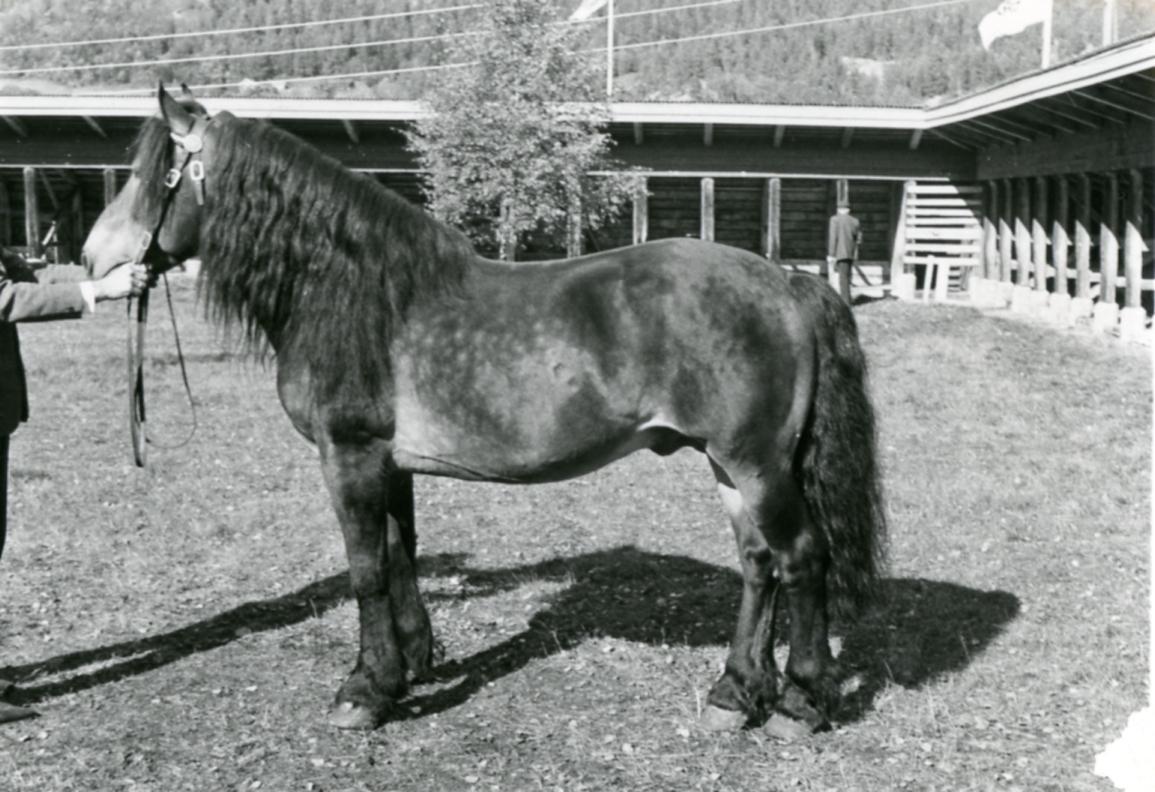 Kryllingkongen 1947 frå Telemark Hesteavlslag.