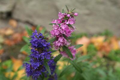 Isop (blå og rosa)/Hyssopus officinalis