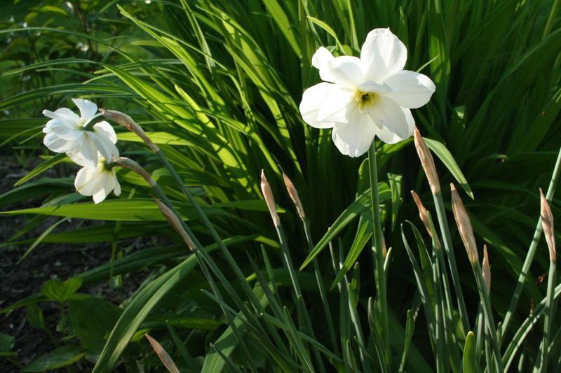 Narcissus Motoppen