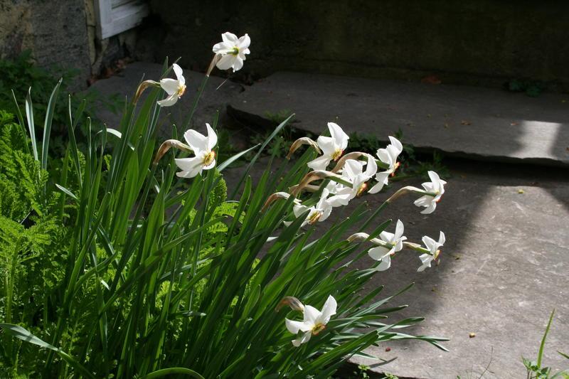 Den opprinnelige arten Narcissus poeticus ved kjøkkentrappa. Den kalles ofte 'Recurvus', fordi blomsterbladene bøyer seg bakover.