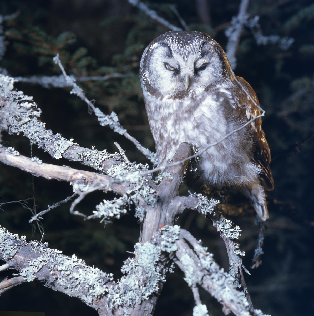 På en gren klädd med lav sitter en uggla och blundar.