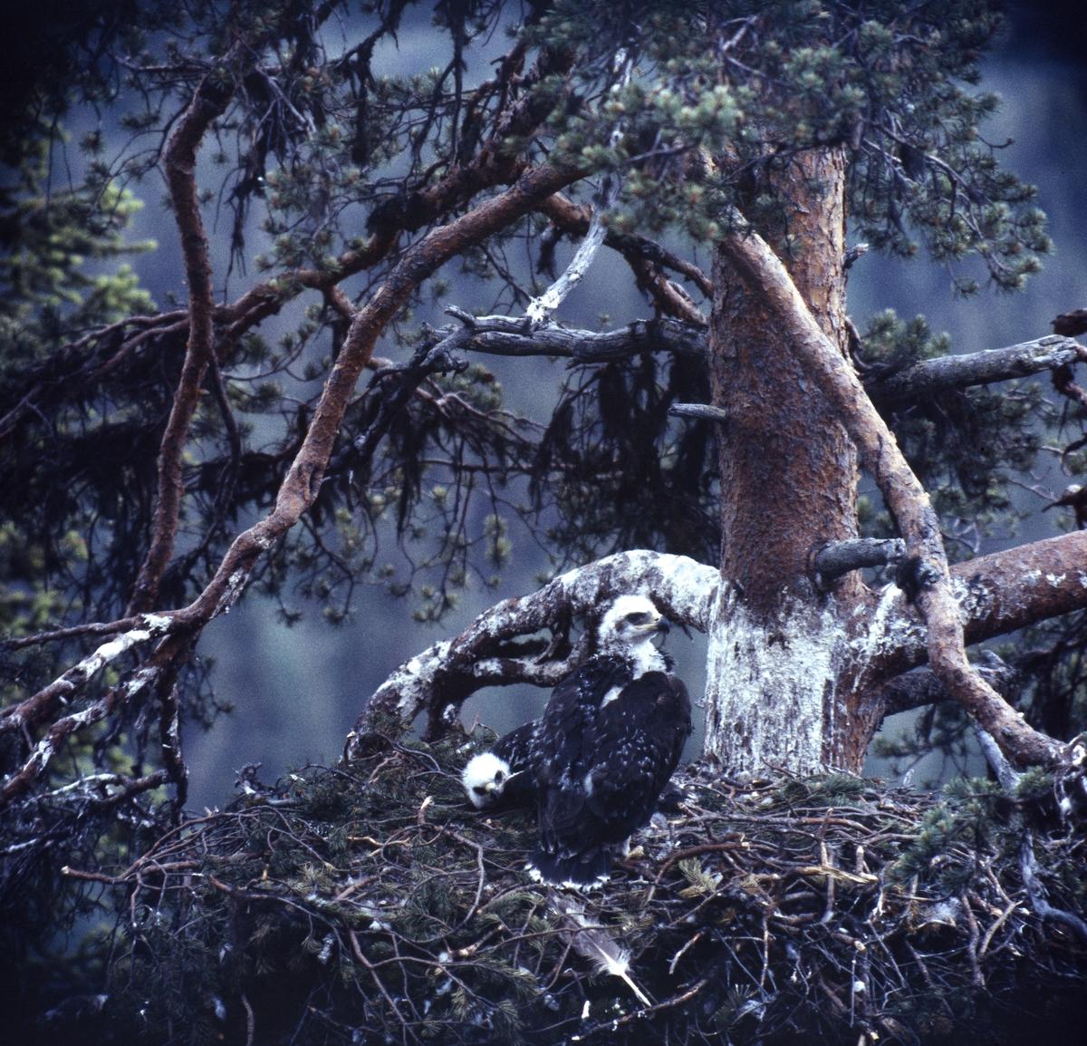 Fiskgjuse med unge sitter p sitt stora bo av kvistar högt uppe i en tall.