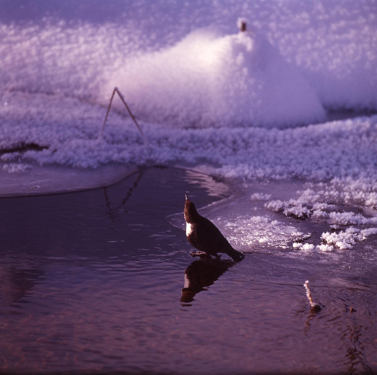 Strömstare på tunn is i vattenbrynet. I bakgrunden syns snöklädd mark.
