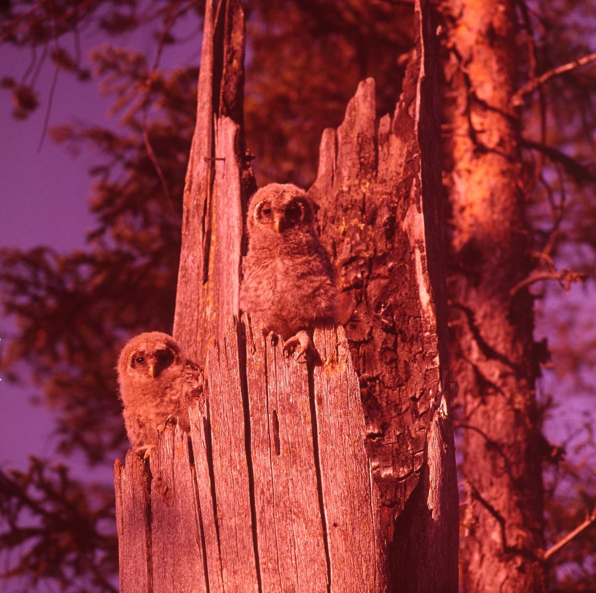 Två uggleungar sitter på kanten till en ihålig trädstam. Tallar i bakgrunden.