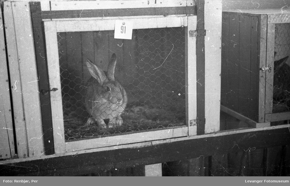Fra utstillingen om høsten under byjubileet i 1936, pelsdyrutstilling, kanin.