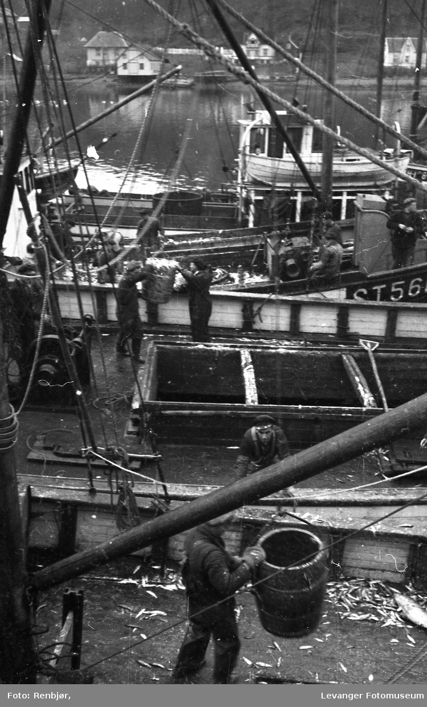 Sildefiskere i Levanger havn.
