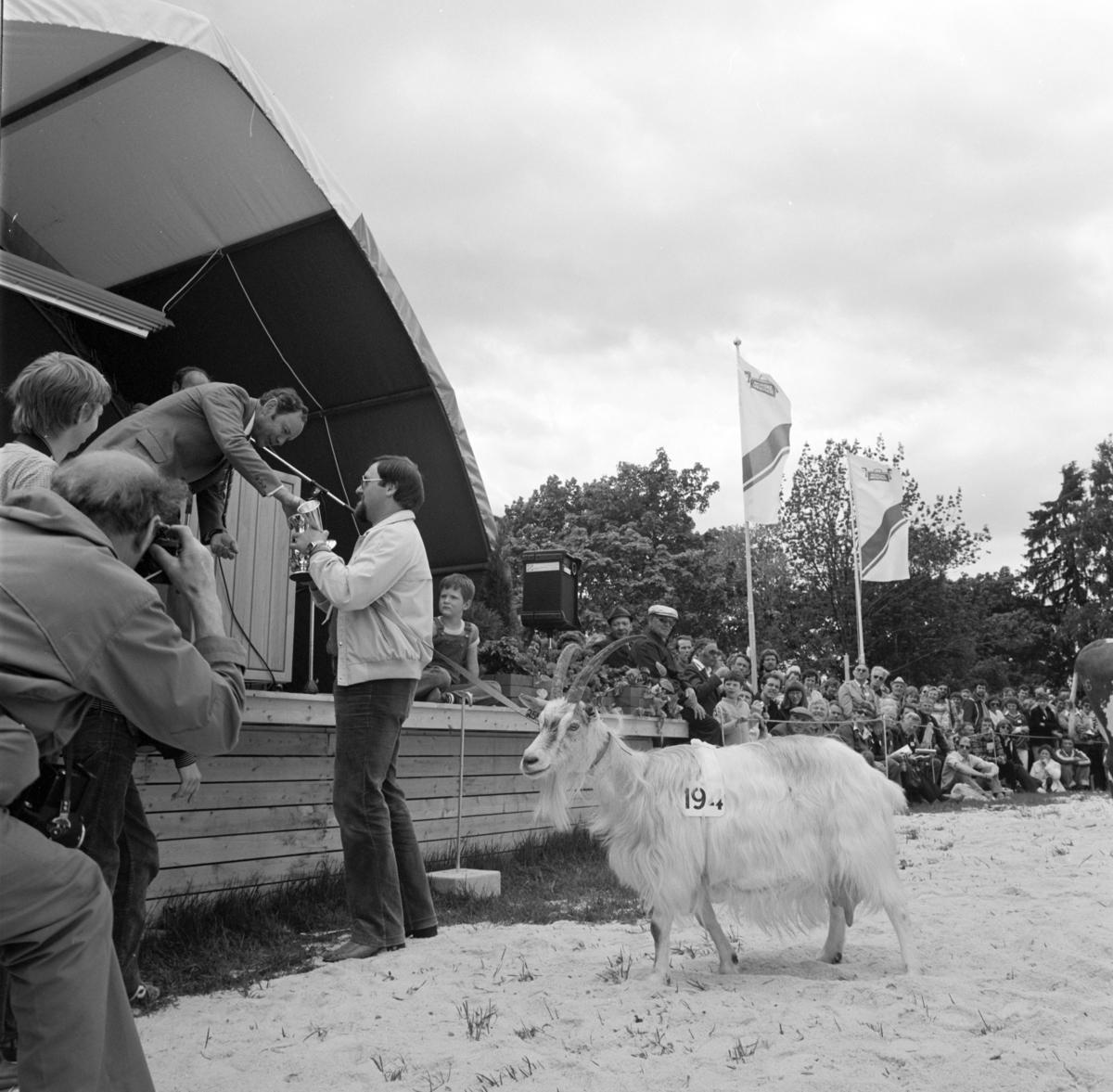 Norske Melkeprodusenters Landsforbund, NML 100 år 1881-1981. Jubileumsutstilling,visningsring, kavalkade over norsk husdyrhold, premiering,geitebukk,Domkirkeodden, Hamar.