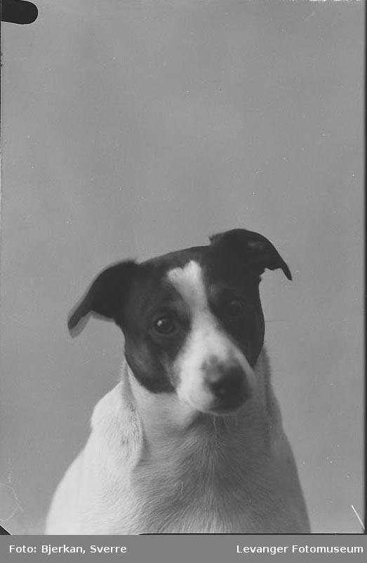 Portrett av Baker Eriksens hund