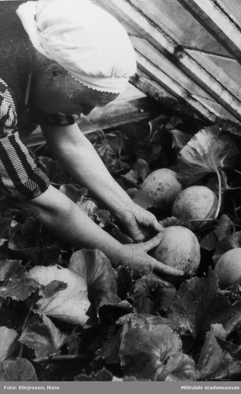 Gården Sandbäck 1 i Mölndal. Henrietta Johansson, som bodde hos Börjessons, skördar meloner. R 5:18.