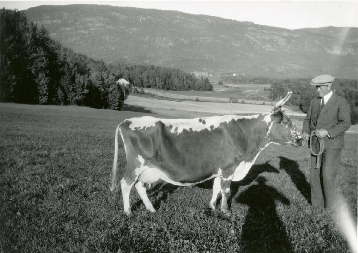 Kua Dagros, tilh. Neri Valen, fotografert på eit jorde på Valen. Ein mann held kua i band. Utsyn frå Valen mot Askildt.