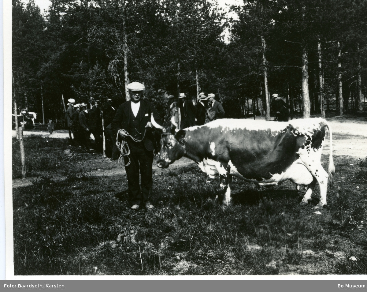 Foto av kua Engelin, eigar Halvor T. Hørte.